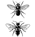 bugs melecta and osmia vector image vector image