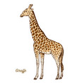 african giraffe wild animal on white background vector image
