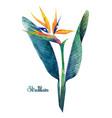 watercolor strelitzia bouquet vector image vector image