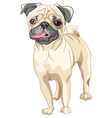 pug breed vector image vector image