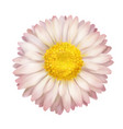 daisy flower isolated vector image vector image