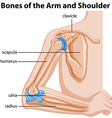 Bones of the arm and shoulder vector image