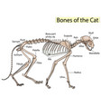 cat skeleton veterinary cat osteology vector image