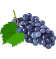 grape isolated on white background vector image vector image