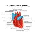 heart blood flow composition vector image