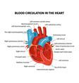 heart blood flow composition vector image
