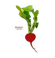 one radish isolated on white background vector image vector image