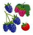 set raspberries and blackberries colourful vector image vector image