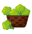 wicker basket with fresh broccoli vector image