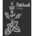 Patchouli Plant vector image vector image