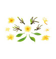 tropical yellow plumeria flowers branches vector image vector image