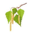 Birch with leaves and buds isolated on white vector image vector image