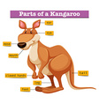 Diagram showing different parts of Kangaroo vector image vector image
