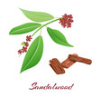 sandalwood tree branch and bark vector image