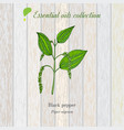 black pepper essential oil label aromatic plant vector image vector image