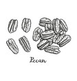 ink sketch of pecan vector image