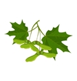 Maple leaves and samara isolated on white vector image