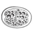 division of zygote vintage vector image vector image