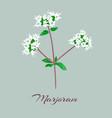 marjoram or origanum majorana vector image vector image