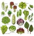 sketch icons set of salads leafy vegetables vector image vector image