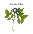 blue cohosh caulophyllum thalictroides or squaw vector image