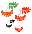 Rowanberry vector image vector image
