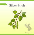silver birch branch with green leaves vector image