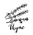 hand drawn thyme plant with leaves isolated on vector image