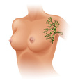 Lymph nodes of female armpit vector image