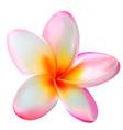 Pink plumeria flower vector image