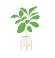 ficus tree home hand drawing plant vector image