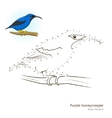 Purple honeycreeper draw vector image vector image