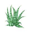 aloe vera watercolor succulent aloe vector image vector image