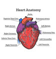 heart anatomy colored sketch vector image