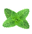 polygonal realistic fresh mint leaves on a vector image vector image