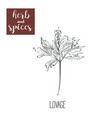 lovage hand drawing herbs and spices vector image vector image
