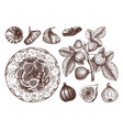 summer fruits - figs sketches collection vintage vector image