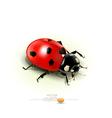 ladybug isolated on white background vector image vector image
