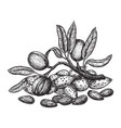 almond hand drawing vintage style engraving vector image vector image
