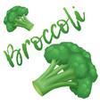 broccoli vegetable icon cartoon vector image