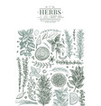 culinary herbs banner template hand drawn vintage vector image vector image