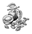 drawings apricot fruit and kernels hand drawn vector image vector image
