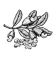 cashew plant and nuts ink sketch hand drawn vector image vector image