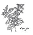 pepper mint branch with leaves and flowers vector image