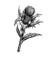 a thistle flower hand vector image vector image
