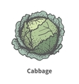 hand-drawn head of cabbage vector image vector image