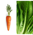 carrot and lettuce vector image
