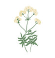 blooming valerian flowers isolated on white vector image vector image