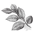 european beech leaves vintage vector image vector image
