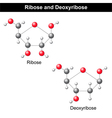 Ribose and deoxyribose vector image vector image